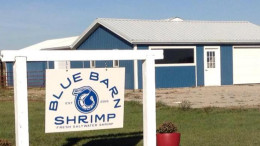 Blue Barn Shrimp's first shrimp harvest will take place December 12th. Photo provided.
